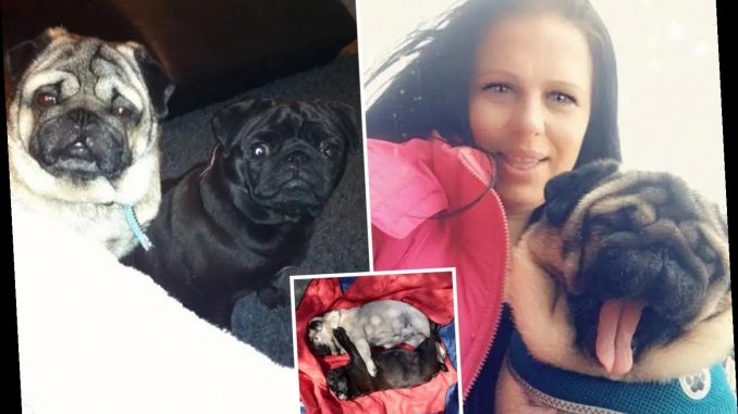 Two pugs 'cooked to death' after couple left them inside a ...